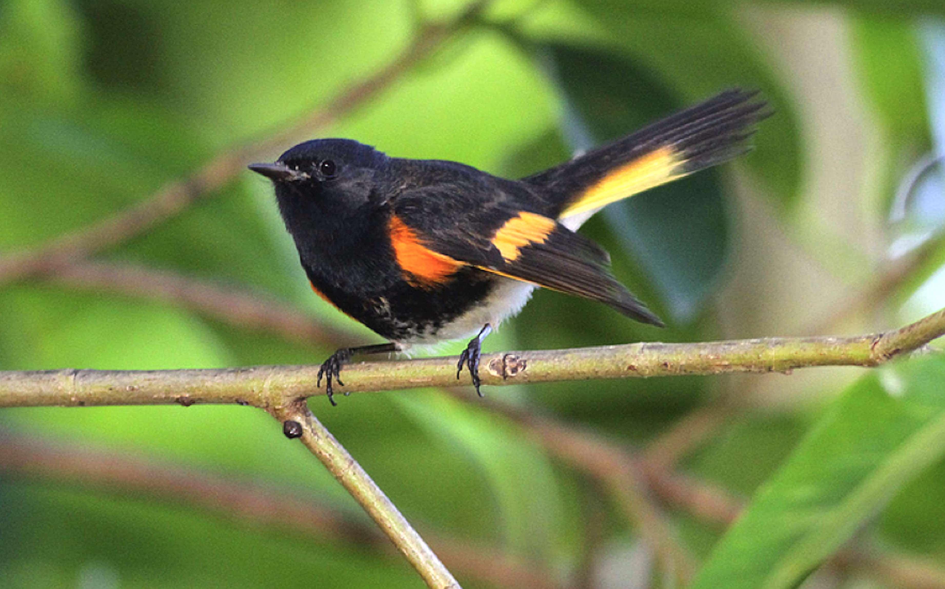 american-redstart-abaco-bahamas-gerlinde-taurer-3