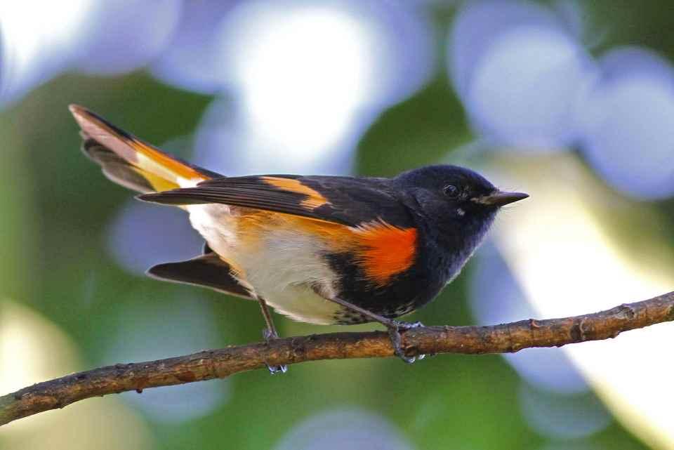 american-redstart-male-abaco-bahamas-gerlinde-taurer-1