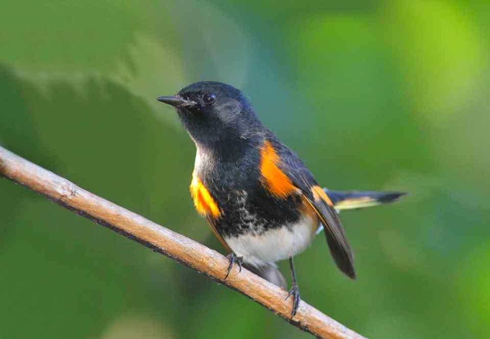 american-redstart-male-abaco-bahamas-gerlinde-taurer-2