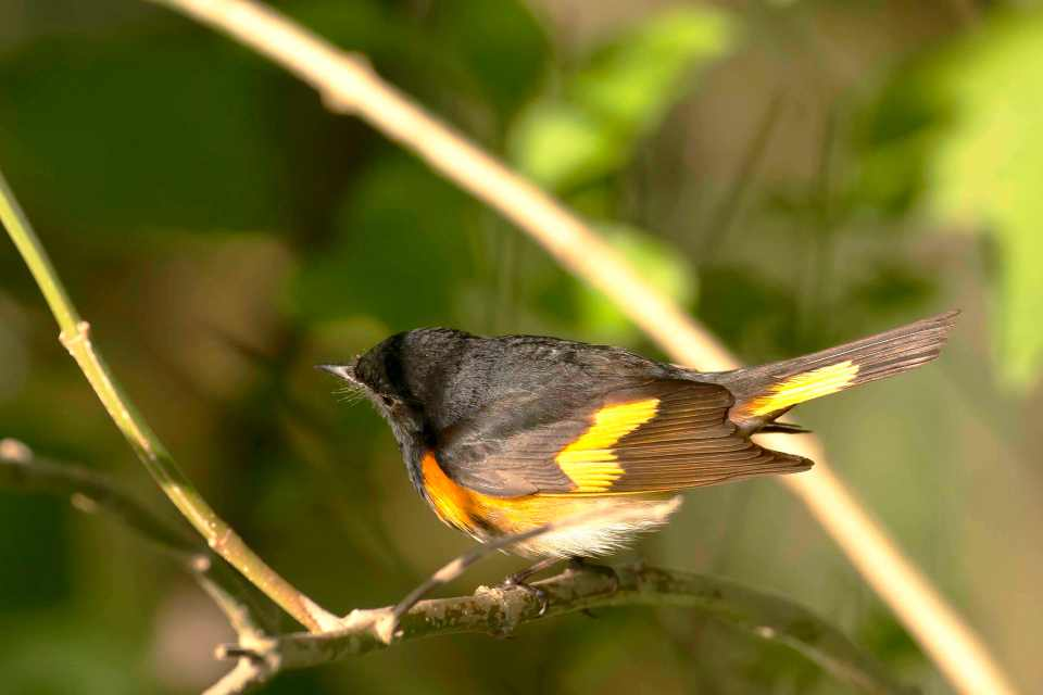 american-redstart-male-bahama-palm-shores-abaco-bahamas-tom-sheley