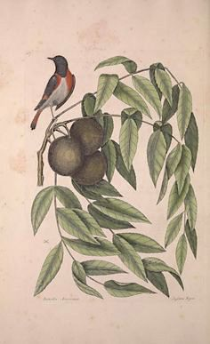 american-redstart-mark-catesby-pinterest