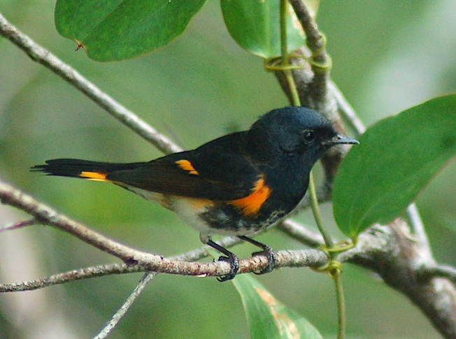 bahamas-american-redstart-bm-oct-2010-copy-2