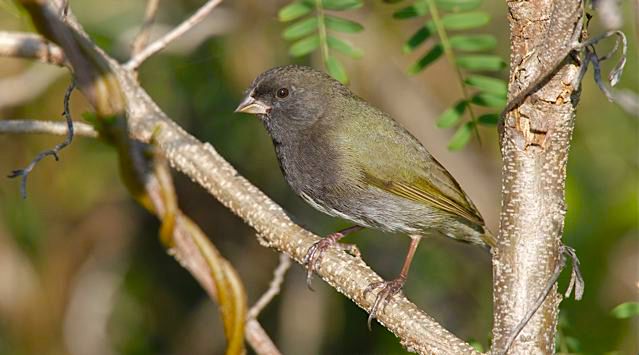 Black-faced Grassquit male, Abaco (Bruce Hallett)