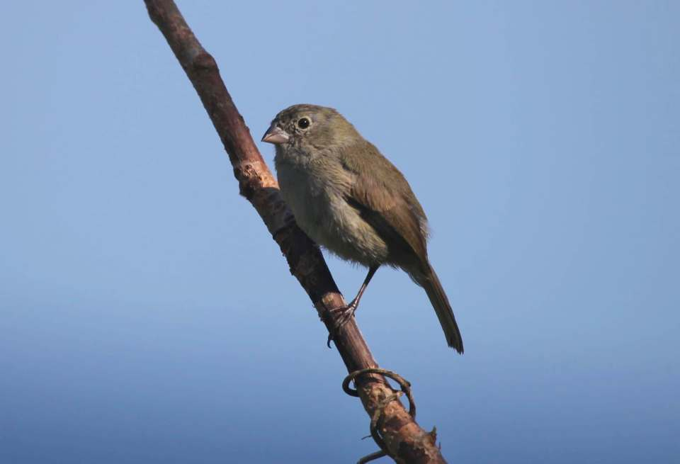 Black-faced Grassquit male, Abaco (Peter Mantle)