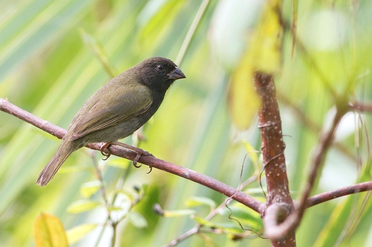 Black-faced Grassquit, Abaco (Tom Reed)