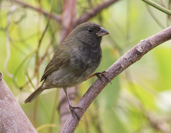 Black-faced Grassquit male, Abaco (Tom Reed)
