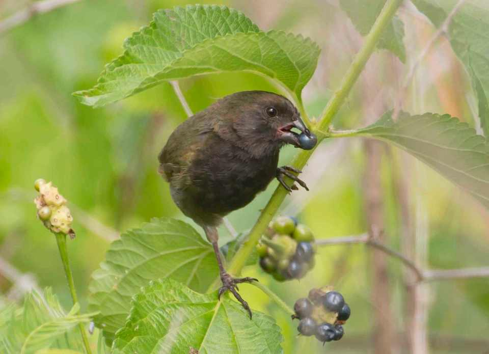 black-faced-grassquit-adult-male-eating-berry-abaco-bahamas-tom-sheley