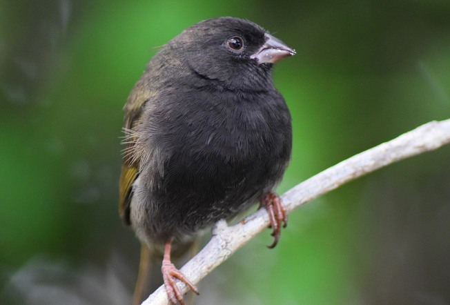 Black-faced Grassquit (m) Lubbers Quarters, Abaco (Larry Towning).jpg