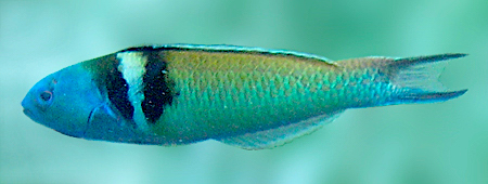blue-headed_wrasse_det (wiki)