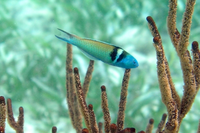 bluehead_wrasse