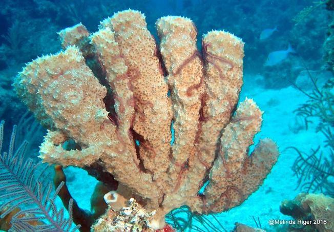 candelabra-sponge-melinda-riger-g-b-scuba