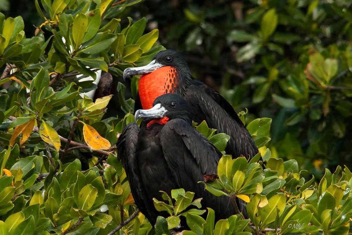 Magnificent Frigatebirds (m) - Michael Vaughn