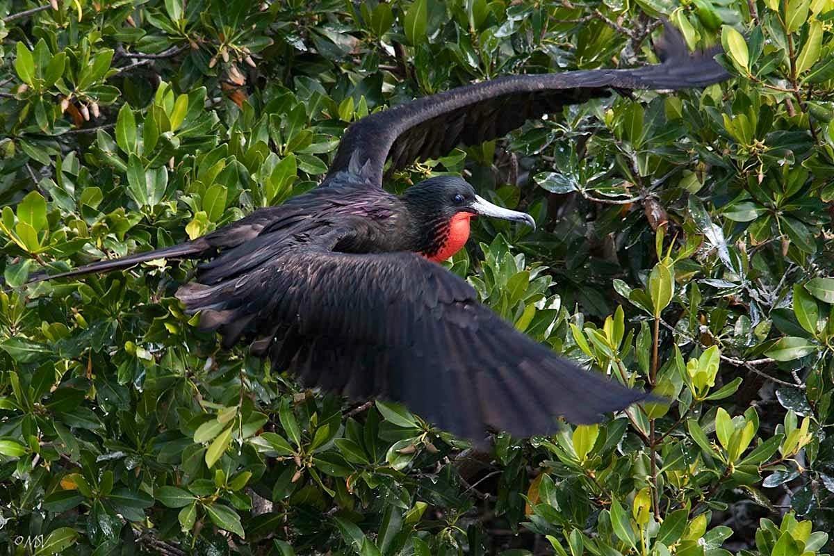 Magnificent Frigatebird (m) - Michael Vaughn