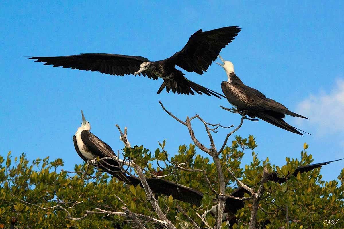 Magnificent Frigatebirds (juv) - Michael Vaughn