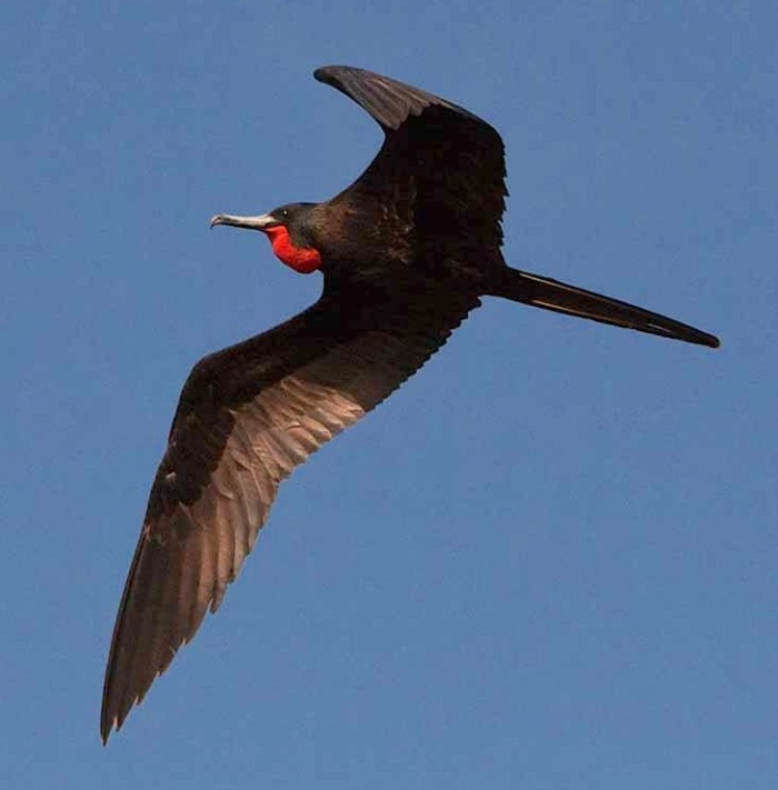 Magnificent Frigatebird (m) - Michael Vaughn