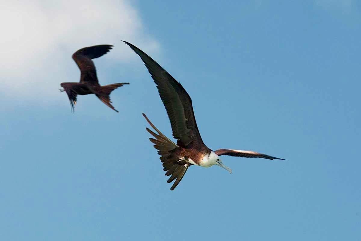 Magnificent Frigatebird (f) - Michael Vaughn
