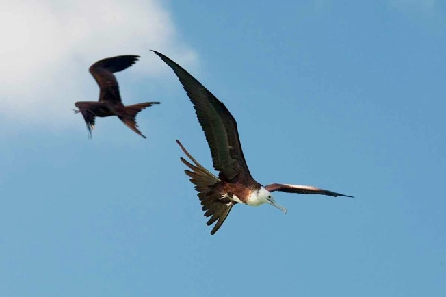 Magnificent Frigatebird (f) - Michael Vaughn
