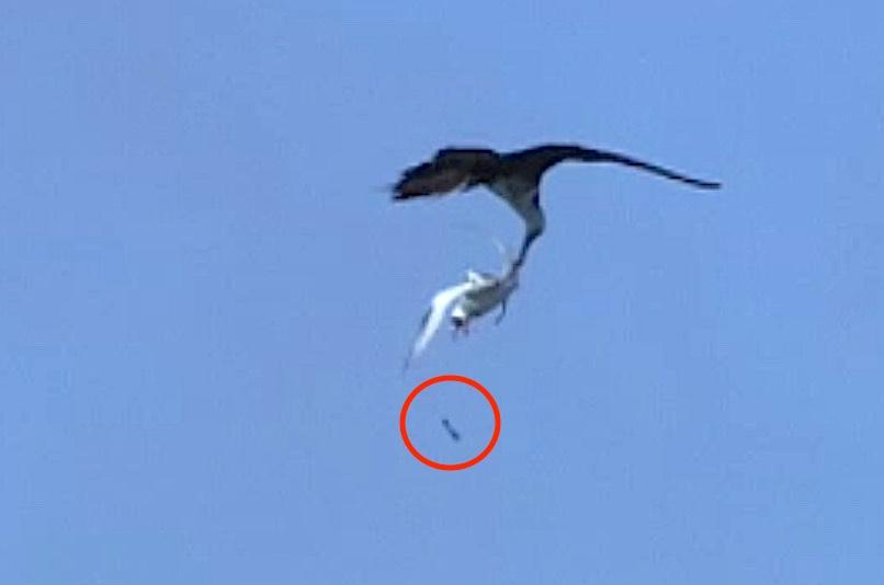 Magnificent Frigatebird steals fish from Tropicbird (BBC clip)
