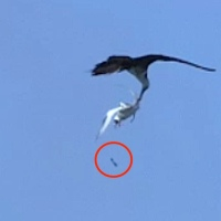 MAGNIFICENT FLYING MACHINES: FRIGATEBIRDS