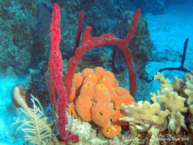 sponges-melinda-riger-g-b-scuba