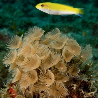 BLUEHEAD WRASSE: PRIVATE LIFE LAID BARE