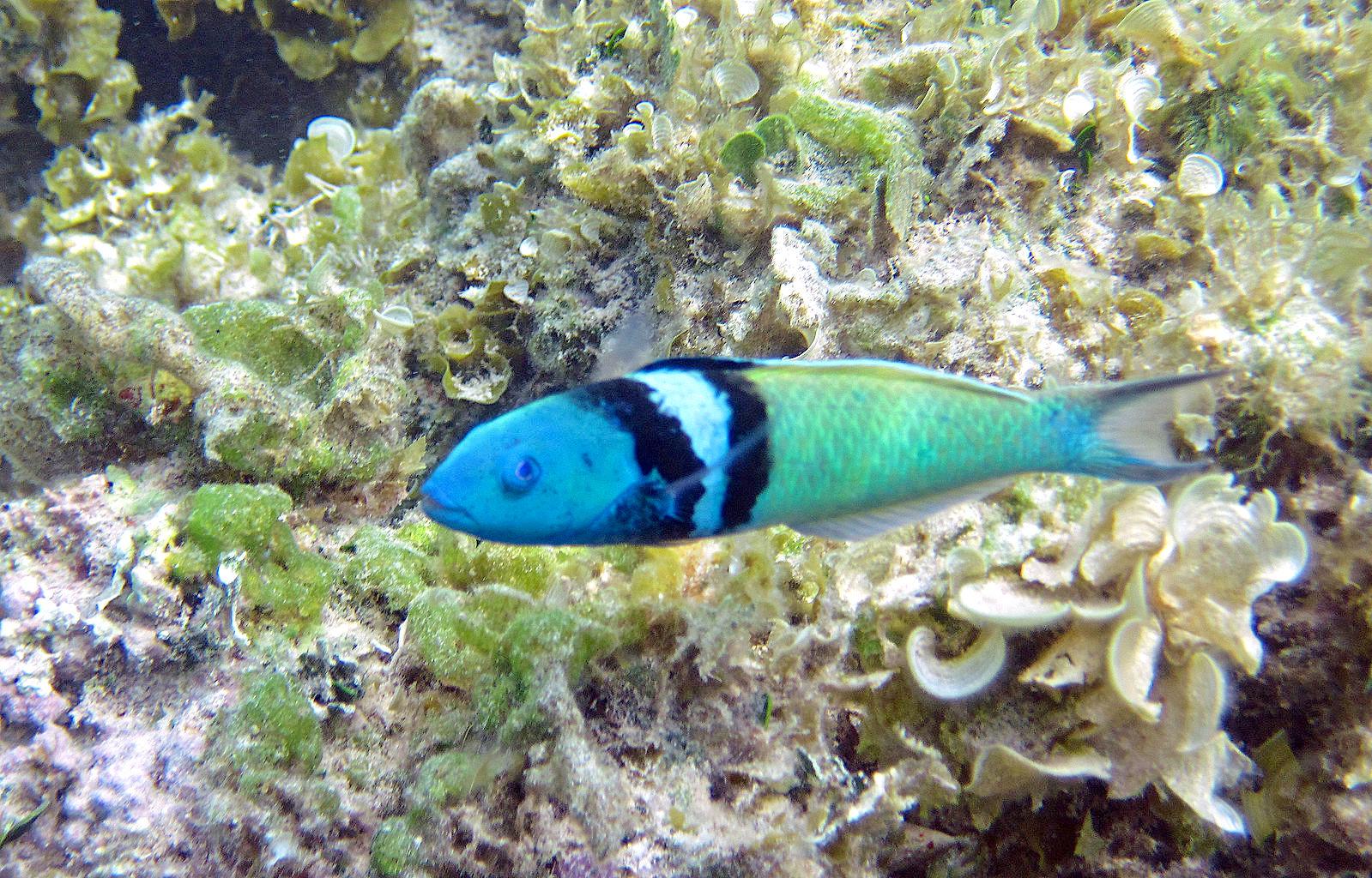 thalassoma_bifasciatum_bluehead_wrasse_san_salvador_island_bahamas-james-st-john-wiki
