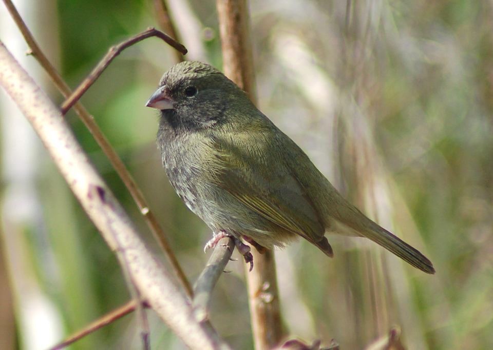 Black-faced Grassquit - Treasure Cay, Abaco (Becky Marvil)