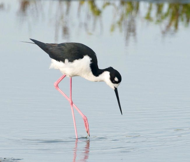 Black-necked Stilt, Abaco, Bahamas - Tom Sheley