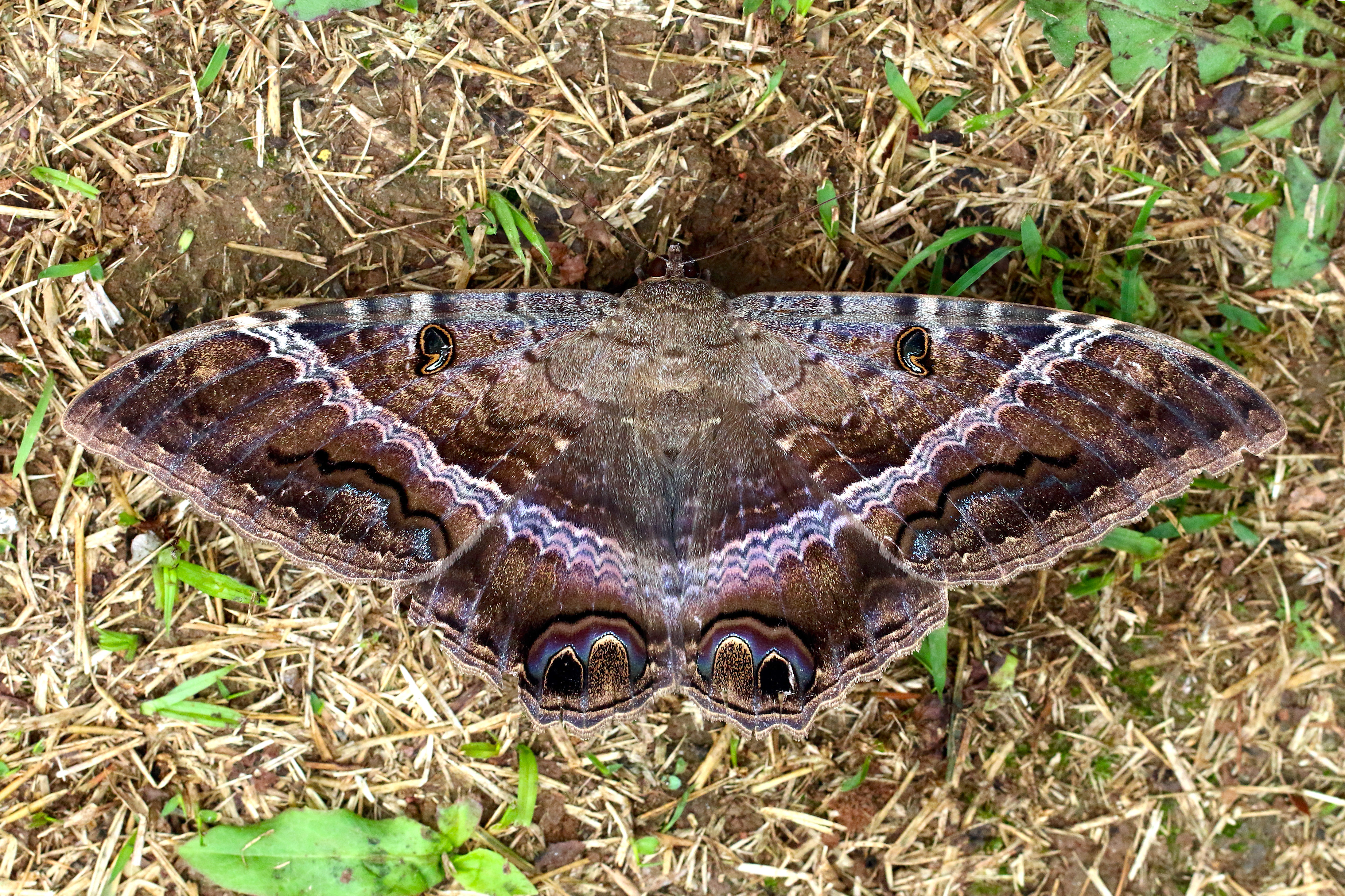 Black Witch moths Ascalapha odorata (Charles J Sharp)