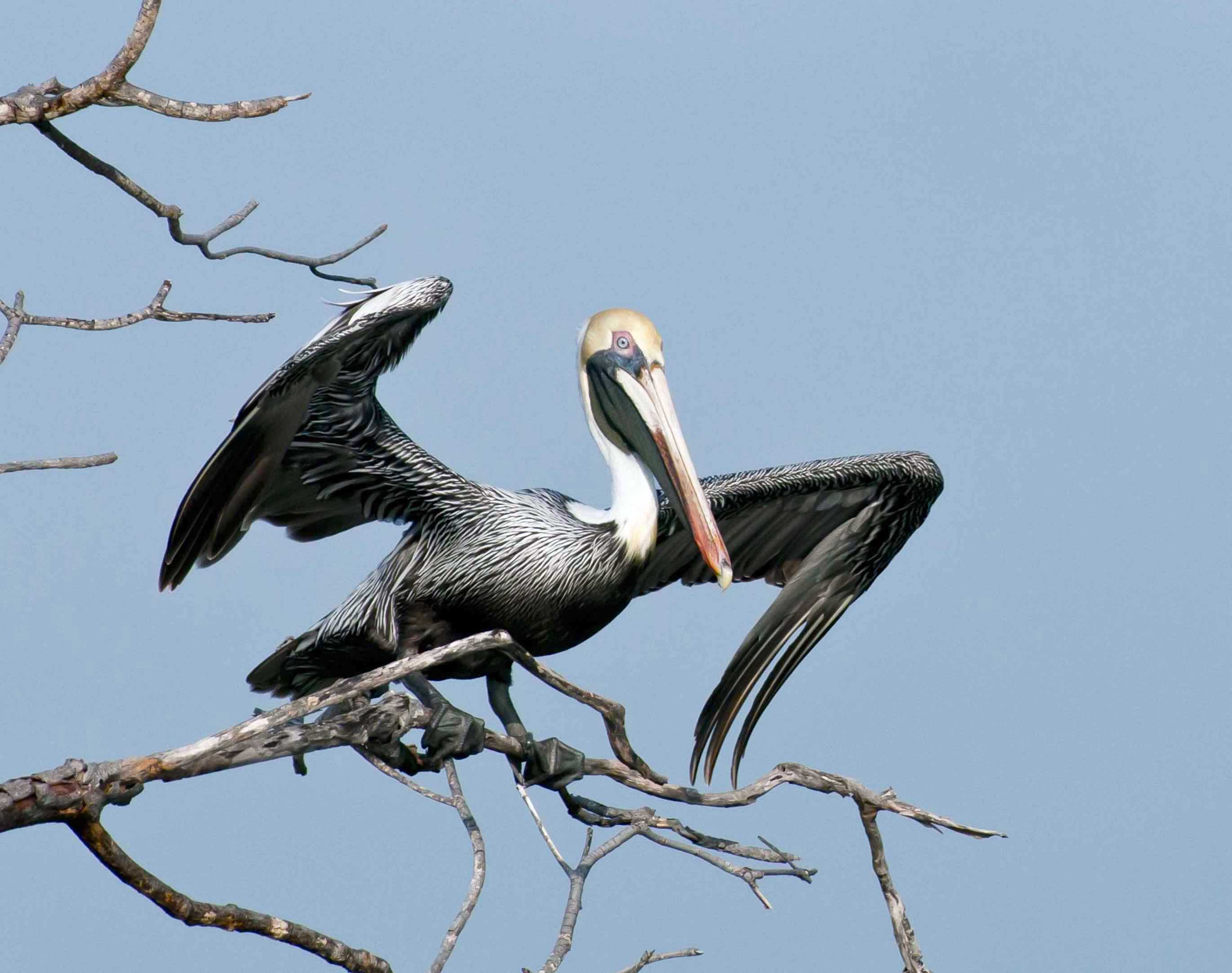 Brown Pelican, Bahama Palm Shores, Abaco Bahamas (Tom Sheley)