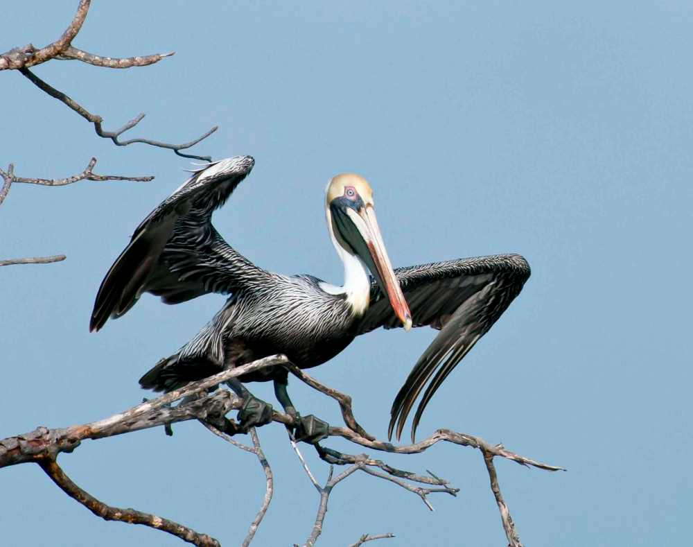 Brown Pelican, Bahama Palm Shores, Abaco Bahamas (Tom Sheley)