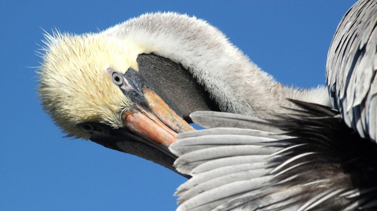 Brown Pelican preening (Alan Schmierer)