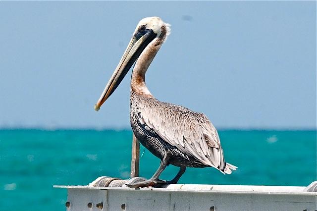 Brown Pelican, Abaco (Tony Hepburn)
