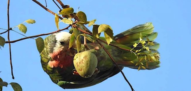 Cuban parrot, Nassau / New Providence (Melissa Maura)