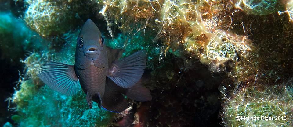 Dusky Damselfish, Bahamas (Melinda Riger)
