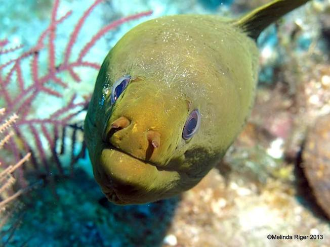 Green Moray Eel (Melinda Riger / Grand Bahama Scuba)