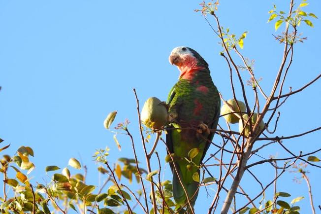 Abaco (Cuban) Parrots in Nassau - Melissa Maura