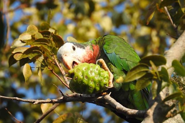 Abaco (Cuban) Parrots in Nassau - Melissa Maura