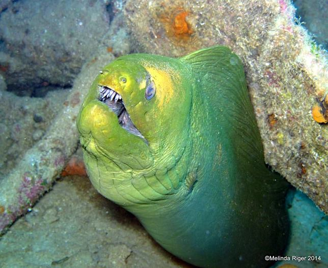Green Moray Eel (Melinda Riger / Grand Bahama Scuba)