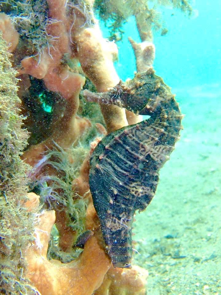 Seahorse (Adam Rees / Scuba Works)