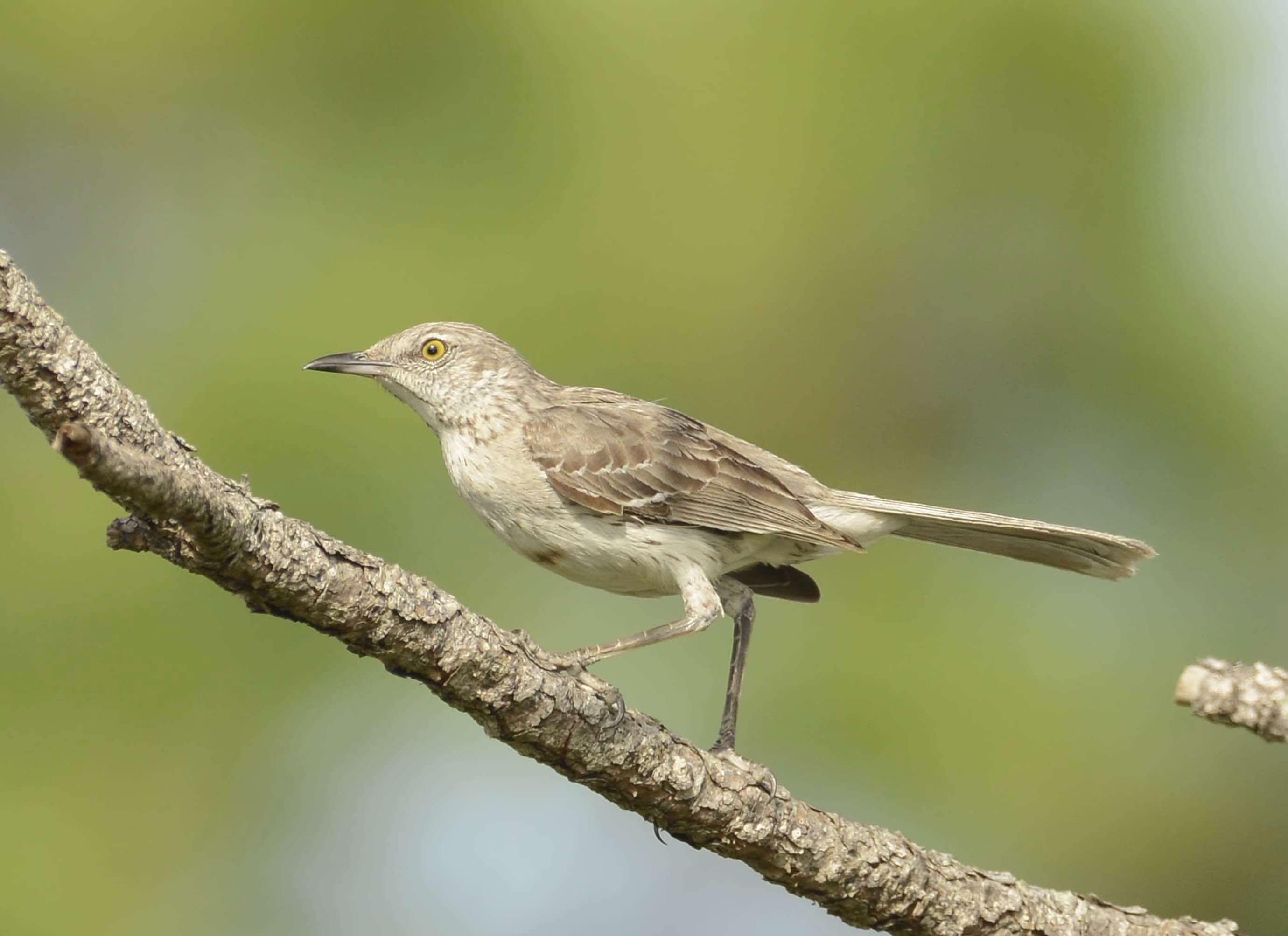 Bahama Mockingbird, Abaco - Tom Sheley