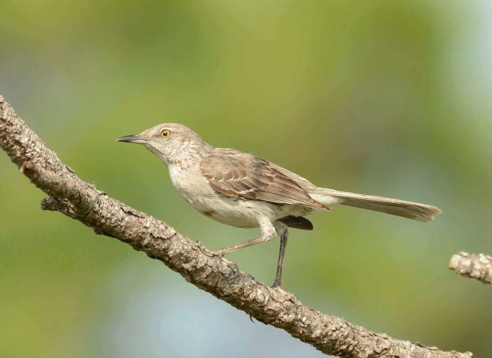 Bahama Mockingbird, Abaco - Tom Sheley