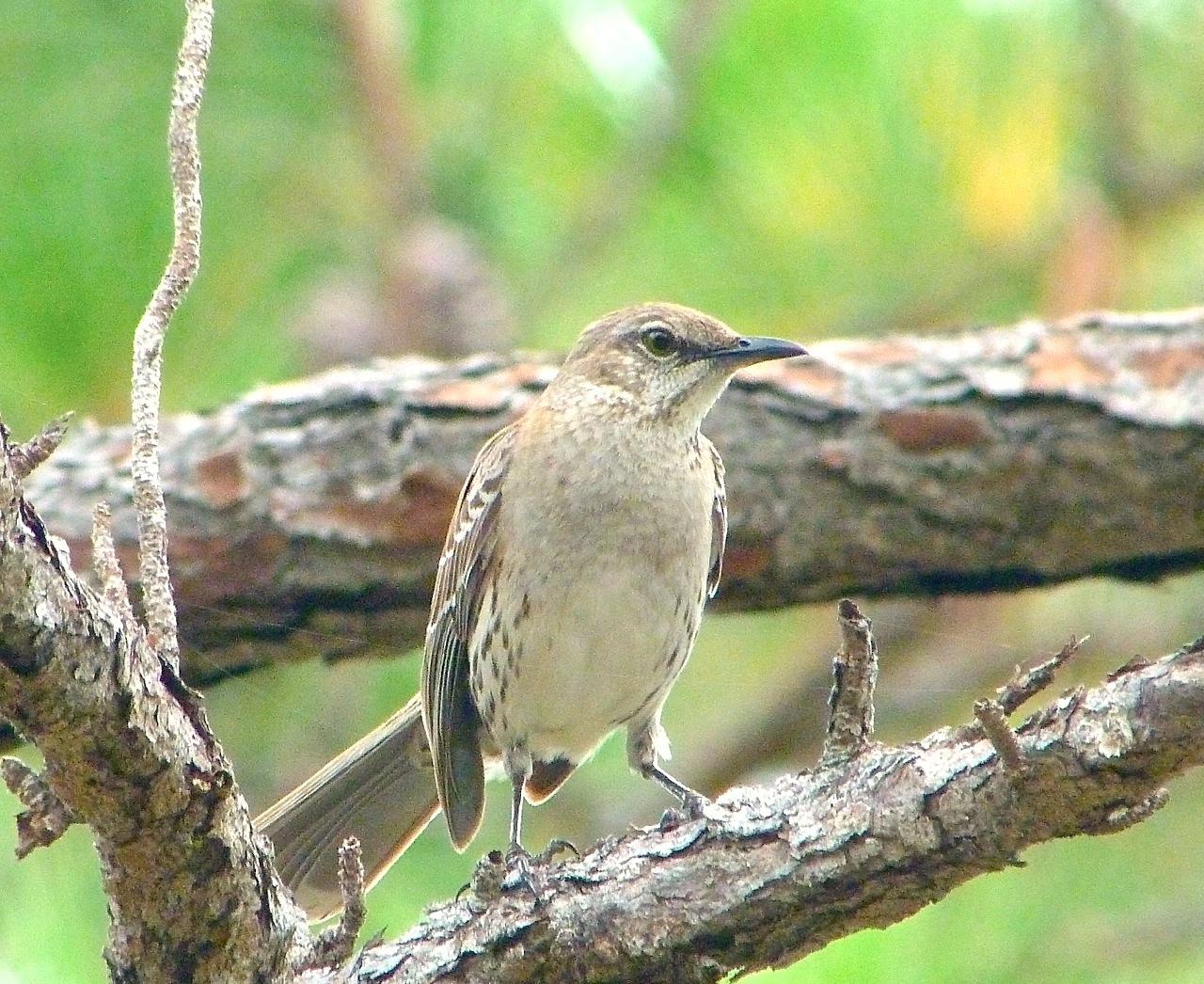 Bahama Mockingbird, Abaco - Keith Salvesen