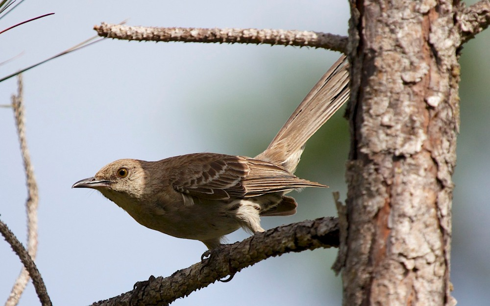 Bahama Mockingbird, Abaco - Alex Hughes