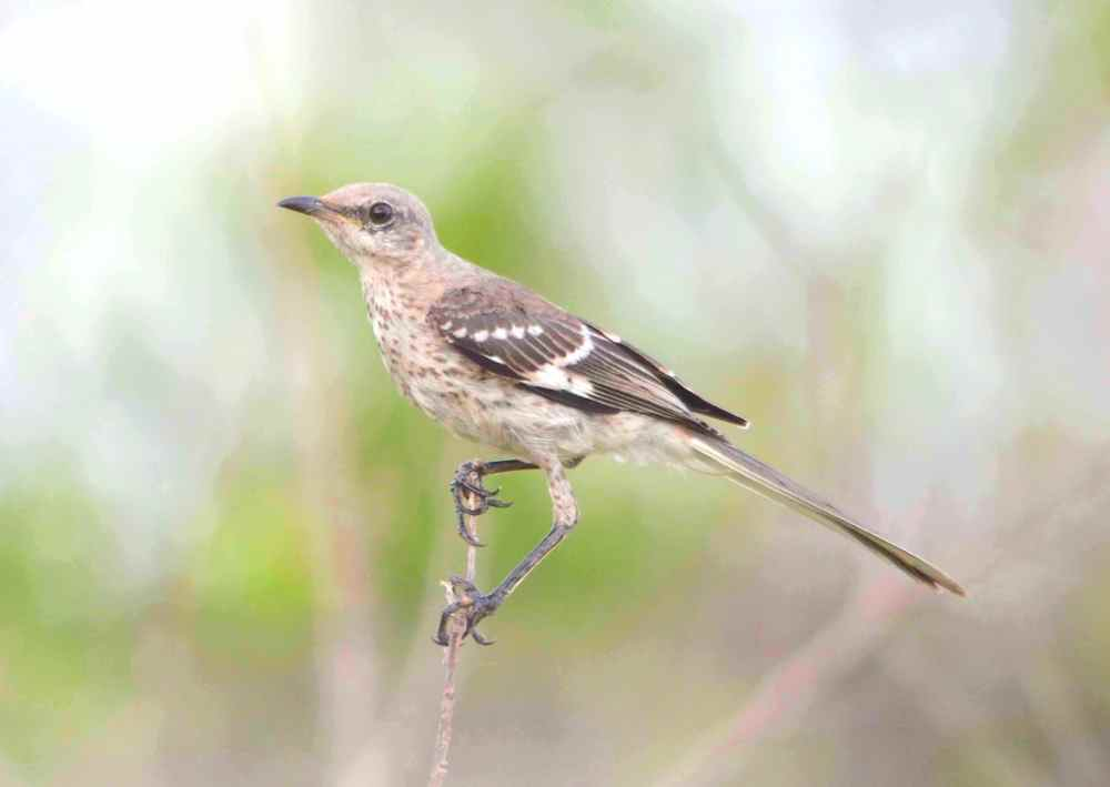 Bahama Mockingbird, Abaco - Charlie Skinner