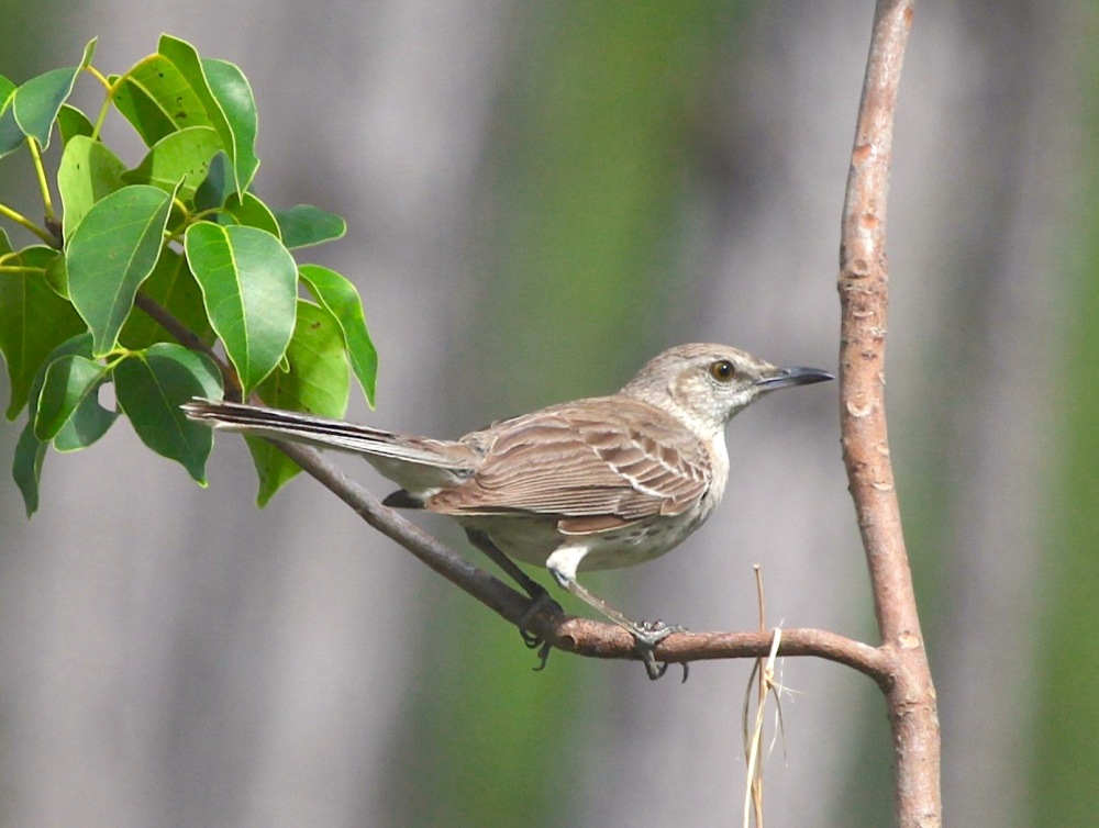 Bahama Mockingbird, Abaco - Peter Mantle