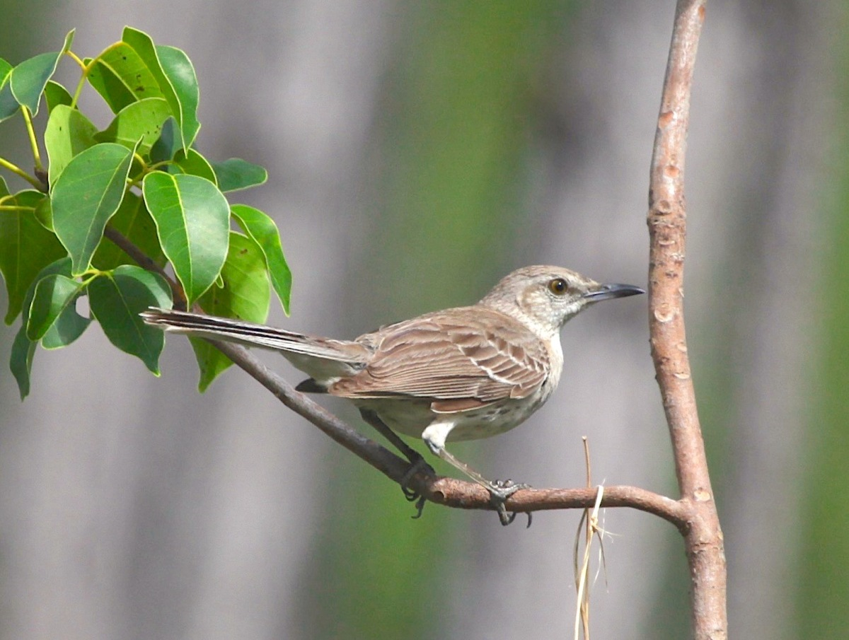 Bahama Mockingbird, Abaco Bahamas (Peter Mantle)