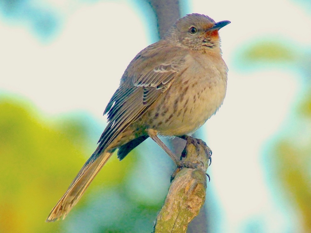 Bahama Mockingbird, Abaco - Keith Salvesen