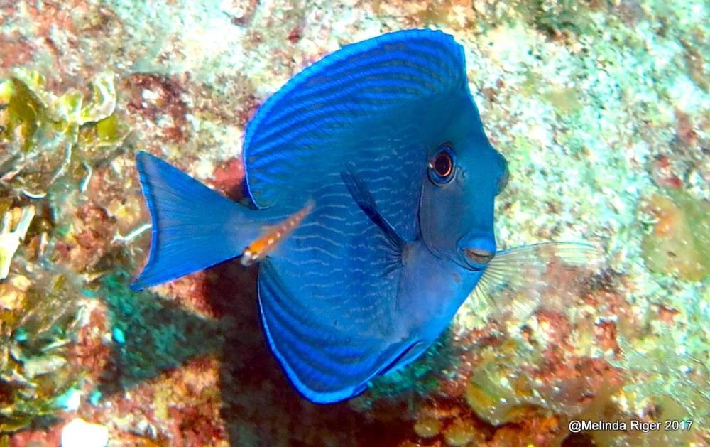 Blue Tang, Bahamas (Melinda Riger / Grand Bahama Scuba)