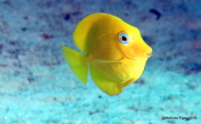 Blue Tang juvenile, Bahamas (Melinda Riger / Grand Bahama Scuba)